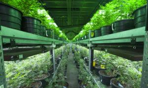 licence de cannabis